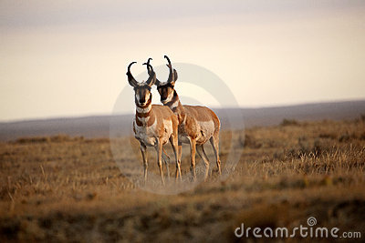 Two male Pronghorn Antelopes