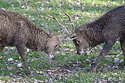 Two male Sika Deers (Cervus nippon) fighting.