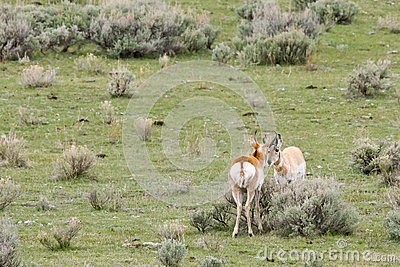 Two Male Wild Pronghorn Anetelope Nose-to-Nose