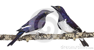 Two Males Violet-backed Starling on a branch