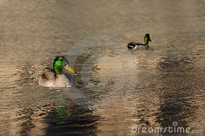 Two Mallard ducks floating in the water