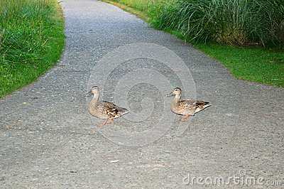 Mallard duck hens on a path