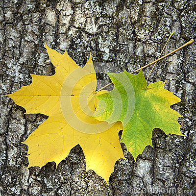 Free Two Maple Leaves Royalty Free Stock Photography - 25526057