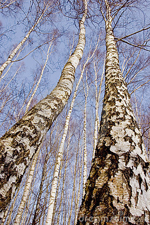 Two march birches on sky background