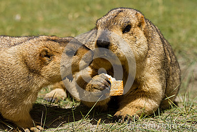 Two marmots with bisquit on the green grass