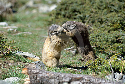 Two marmots fighting face to face