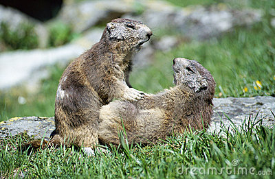 Two marmots playing