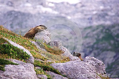 Two marmots playing in the rocks