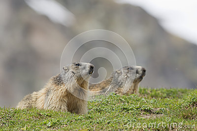 Two Marmots portrait while looking at you