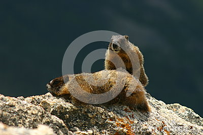 Two Marmots on a Rock