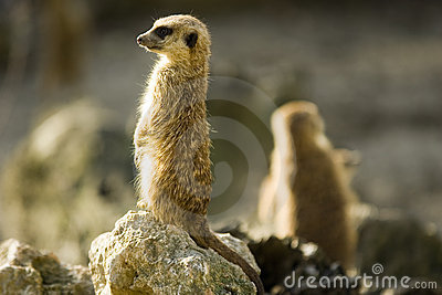 Two meercats