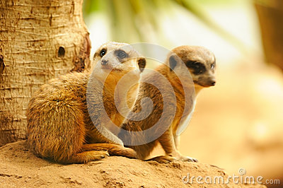 Two meercats sitting near the tree