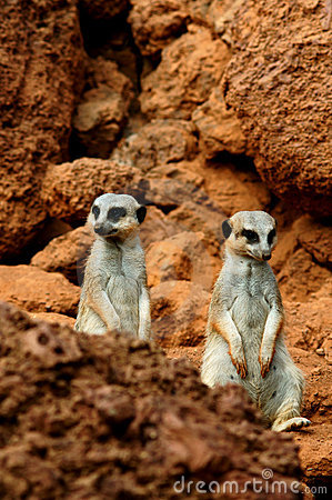 Two meerkat in desert