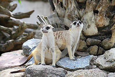 Two meerkat (Suricata suricatta) are watching the