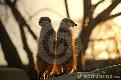 Two Meerkats against the big tree