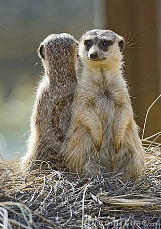 Two Meerkats Back to Back