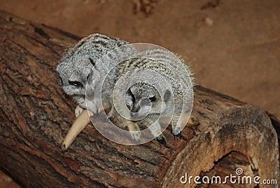 Two meerkats in Love