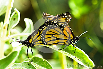 Two monarch butterflies