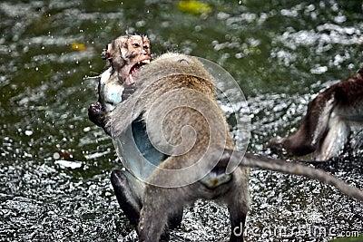 Two monkeys fighting in the rain