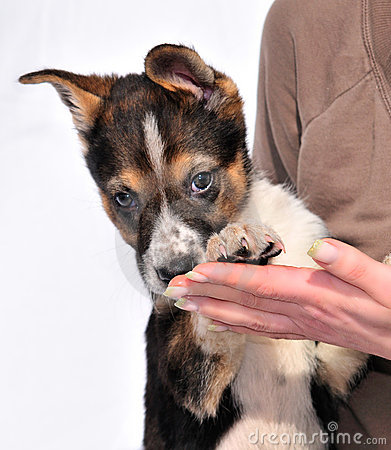 Two month old three coloured puppy in female hands