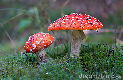 Two mushrooms among moss