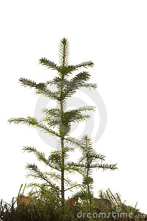 Two natural small Christmas fir tree
