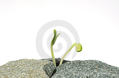 Two new sprouts on stones
