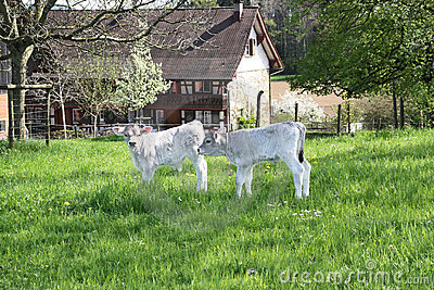 Two newly-born calves on the farm