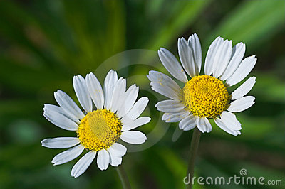 Two nice forest daisies