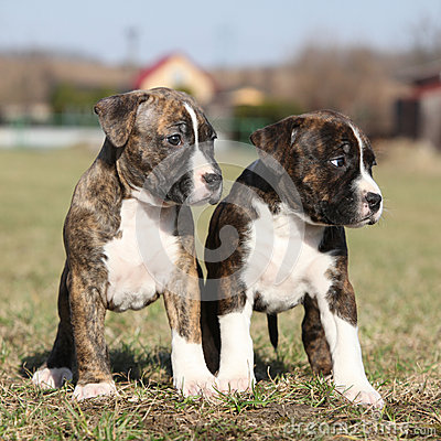 Two nice puppies of American Staffordshire Terrier