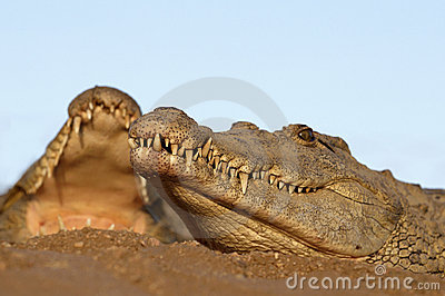 Two Nile Crocodiles laying in sand