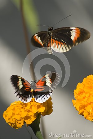 Free Two Numata Butterflies Stock Photography - 4226272