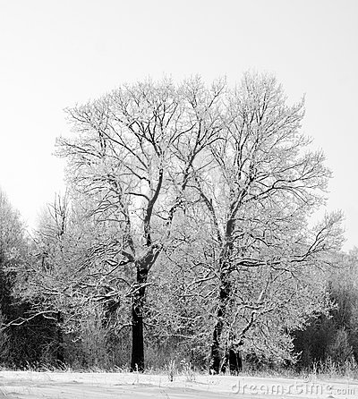 Two oaks in snow black and white