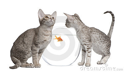 Two Ocicat Cats looking at fishbowl