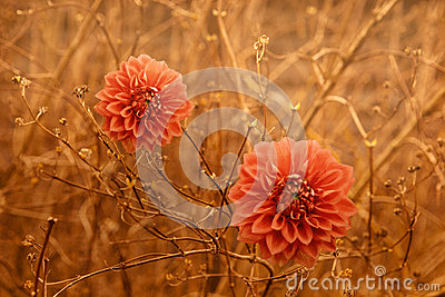 Two orange Dahlia Autumn flowers over brown branches background