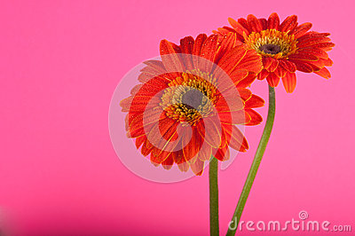 Two orange Gerber Daisies isolated.