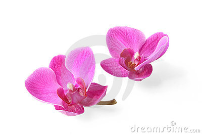 Two orchid flowers on white background