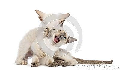 Two Oriental Shorthair kittens, 9 weeks old