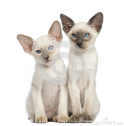 Two Oriental Shorthair kittens, 9 weeks old
