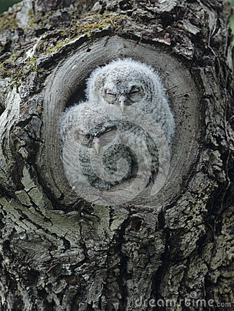 Free Two Owlets In Tree Knot Royalty Free Stock Photography - 30845607