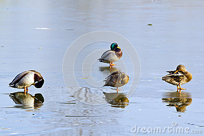 Two pairs of ducks