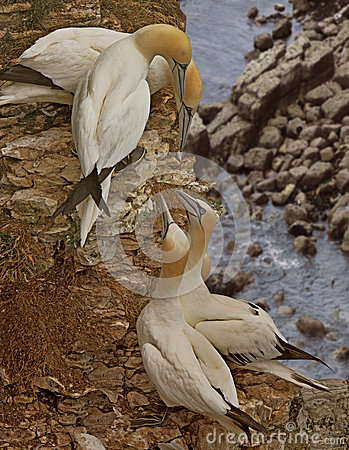 Two Pairs of Gannets