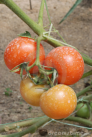 Two pairs of tomatoes