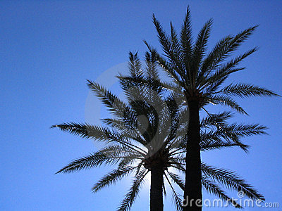 Two palm-trees