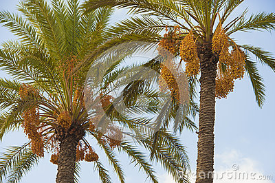Two palm trees with dates