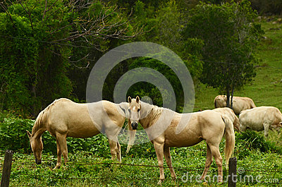 Two Palomino breed horses grazing in paddock