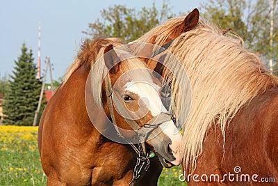 Two palomino draught horses playing