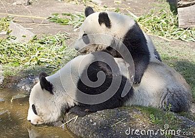 Two panda bears