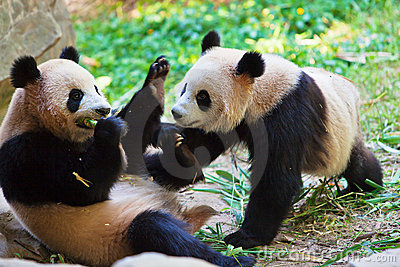 Two pandas playing 2