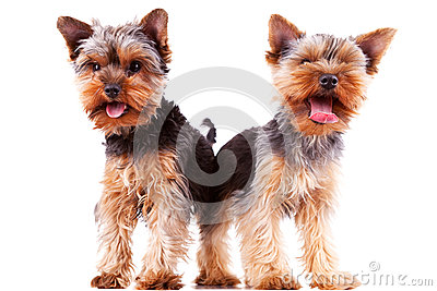 Two panting yorkshire puppy dogs
